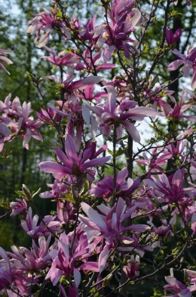 magnolia-suzane